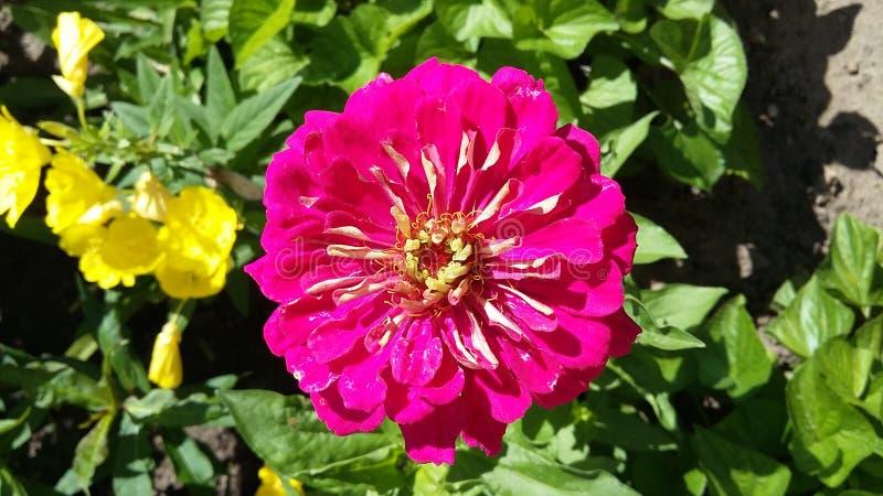 Roze of karmozijnrode bloem in tuin royalty-vrije stock afbeelding