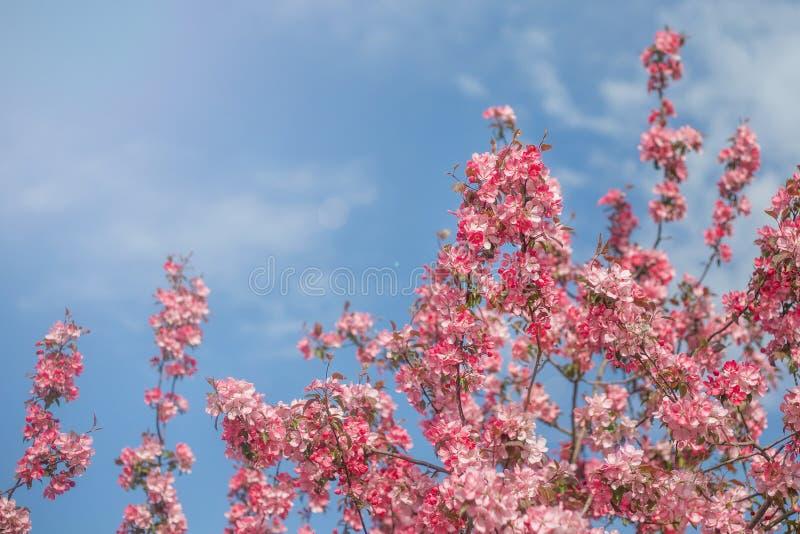 Roze kersenbloem op heldere blauwe hemel De bloemenachtergrond van de de lentetijd royalty-vrije stock afbeelding