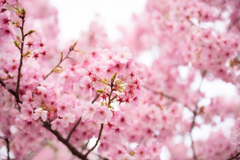 Roze Kersenbloesem stock foto's