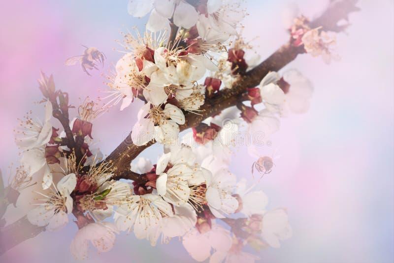 Roze kersenbloesem bij zonnige dag De aardlente royalty-vrije stock afbeelding