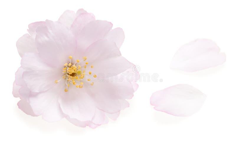 Roze kersenbloesem die op wit wordt geïsoleerde stock fotografie