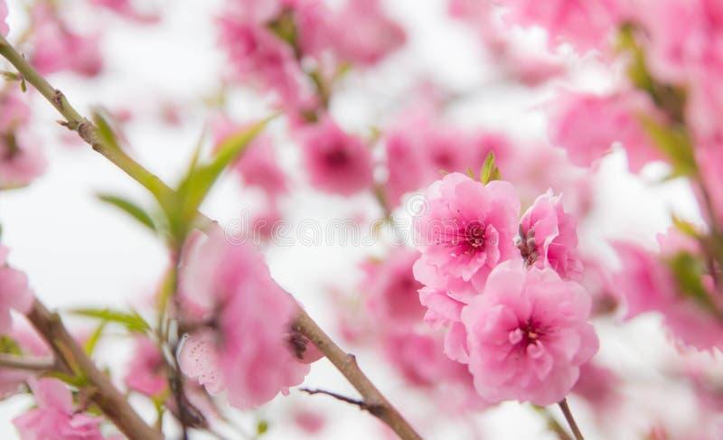 Roze kersenbloesem royalty-vrije stock afbeeldingen