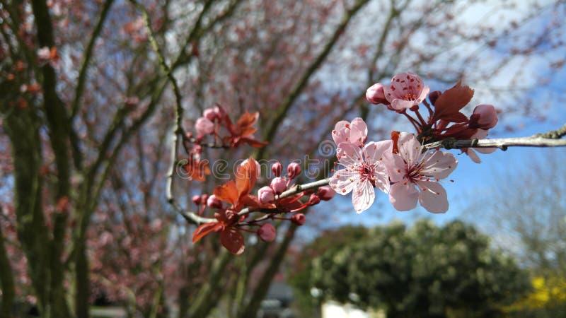Roze kersenbloesem met bomen stock afbeelding