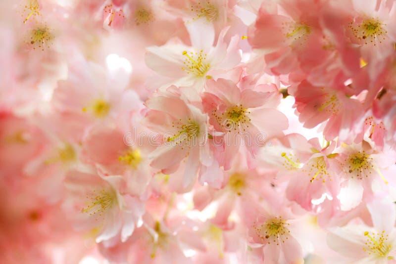 Roze kersenbloesems royalty-vrije stock afbeeldingen