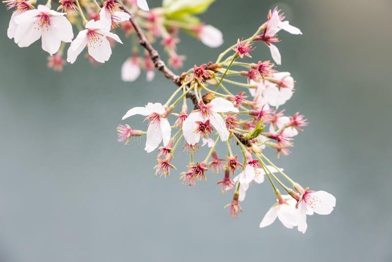 Roze kersenbloesems in de lentetijd stock afbeelding
