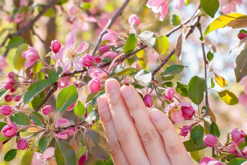 Roze Knoppen van onontloken fruitboom en vrouwelijke hand met lieveheersbeestje, zachte nadruk Bloeiende appelboom op de lente He royalty-vrije stock afbeeldingen