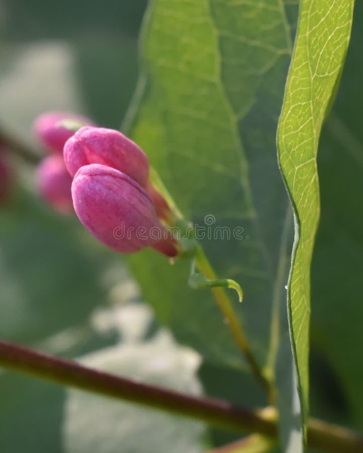 Roze knoppen van struik stock foto