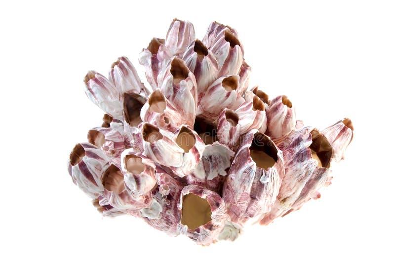 Roze Koraal stock afbeeldingen