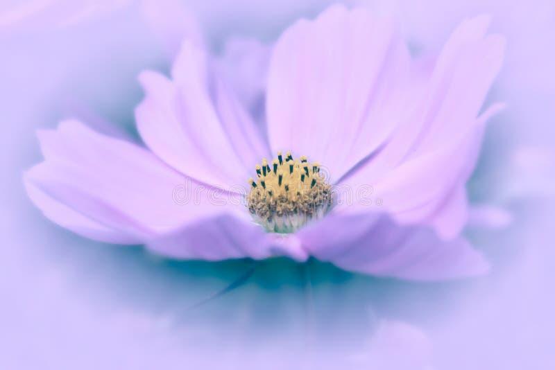 Roze Kosmos met lavendelachtergrond stock afbeeldingen