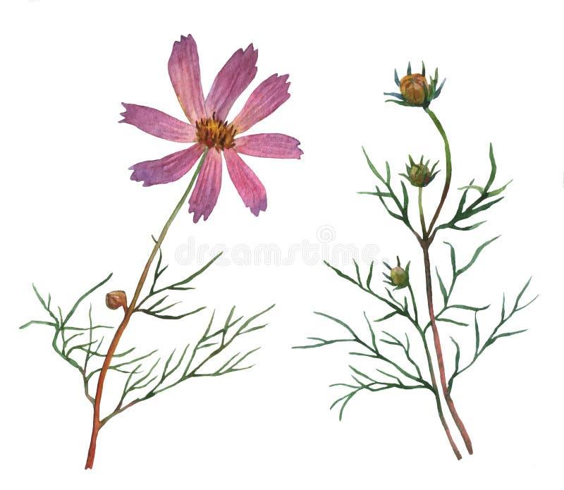 Roze Kosmosbipinnatus, algemeen genoemd de tuinkosmos of de Mexicaanse aster royalty-vrije illustratie