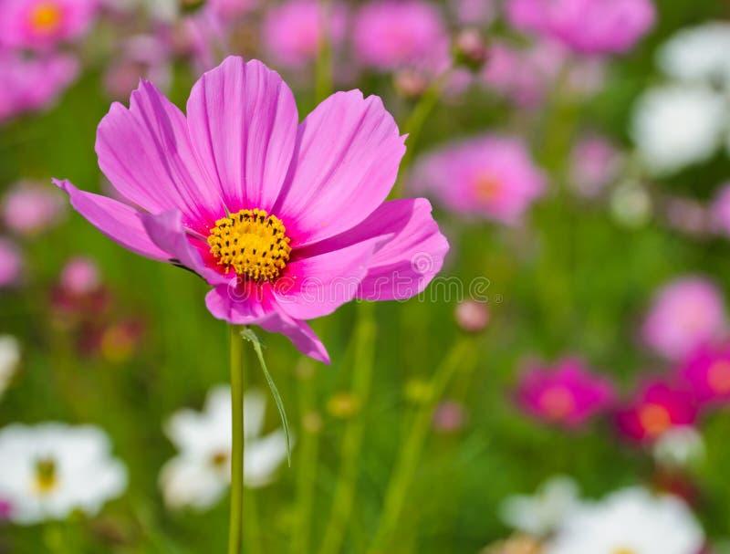 Roze kosmosbloem stock afbeelding