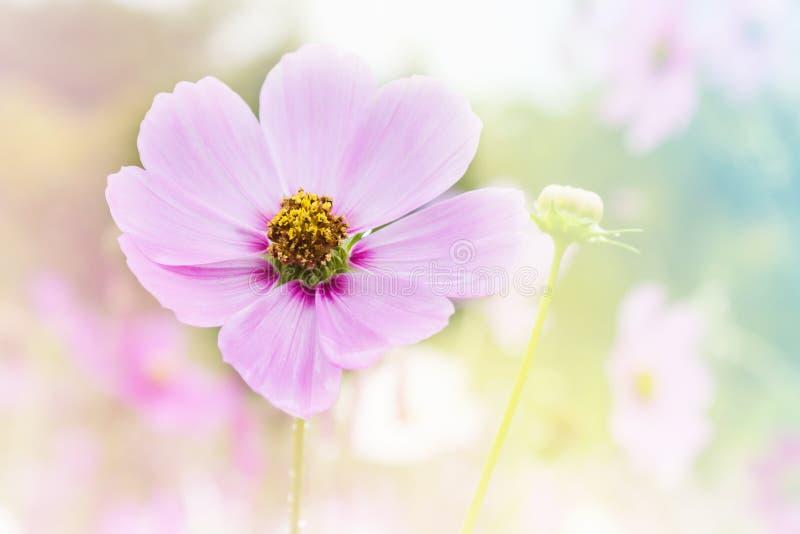 Roze kosmosbloem op kosmosgebied op de romantische dromerige achtergrond van de kleurenstemming met exemplaarruimte royalty-vrije stock foto