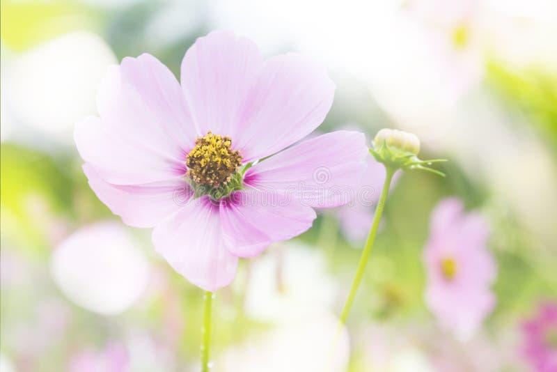Roze kosmosbloem op kosmosgebied op de romantische dromerige achtergrond van de kleurenstemming met exemplaarruimte stock fotografie