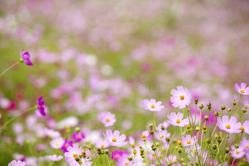 Roze kosmosbloemen stock afbeeldingen