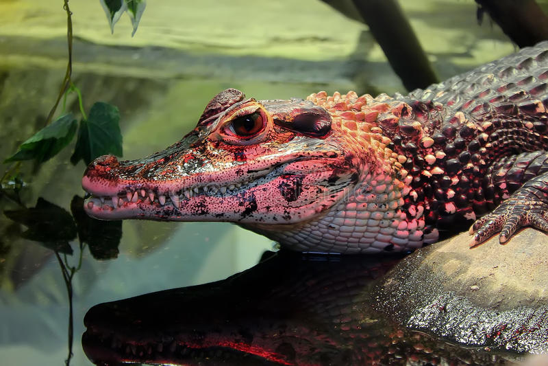 Roze krokodil royalty-vrije stock foto