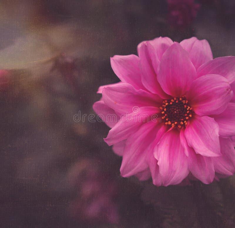 Roze Krokus royalty-vrije stock foto's