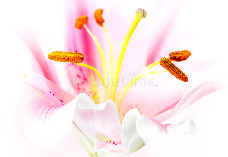 Roze leliebloem stock afbeelding