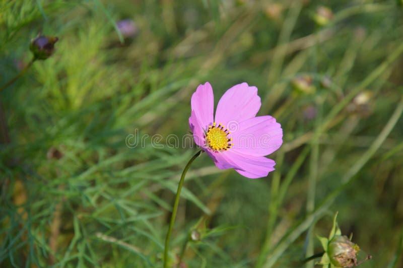 Roze leliebloem stock foto's