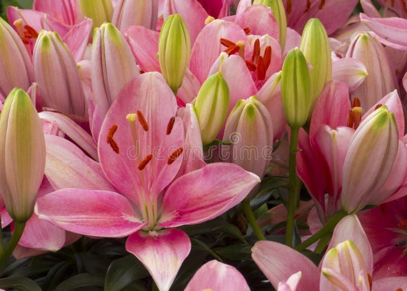 Roze leliebloemen stock afbeelding