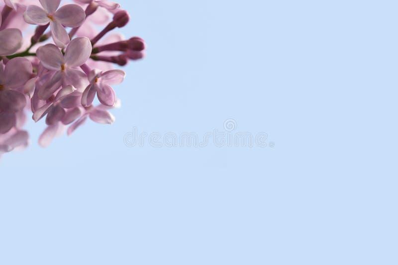 roze lilac bloesemtak op grote hemel blauwe achtergrond stock foto