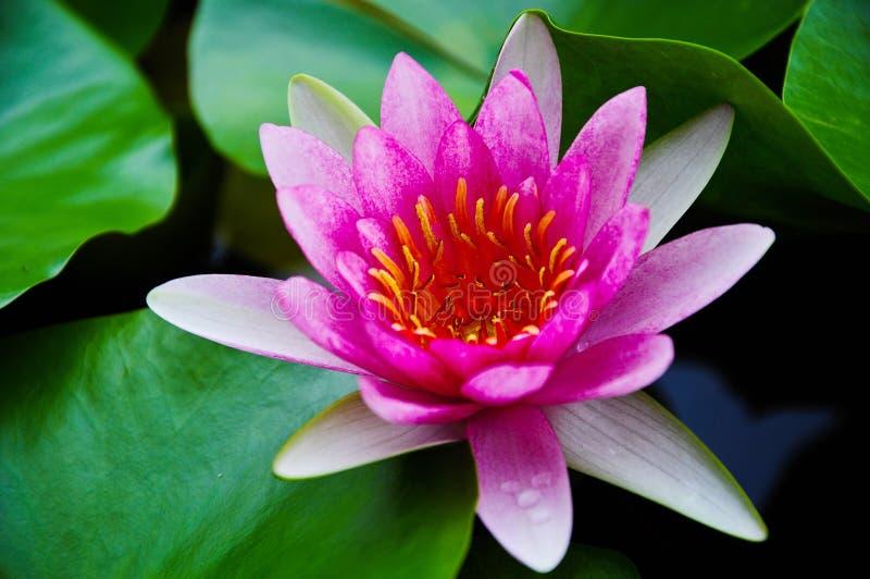 Roze liliy water royalty-vrije stock afbeelding