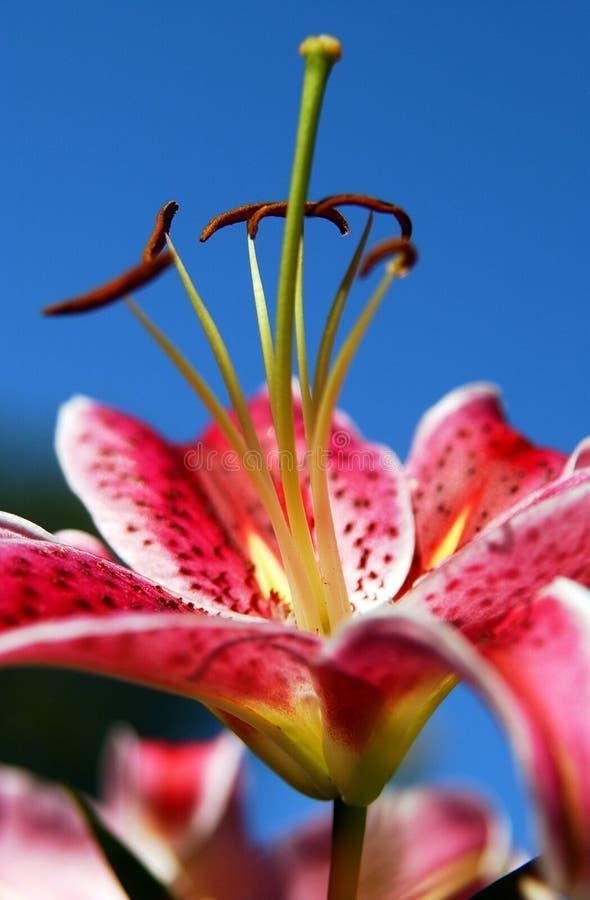 Roze Lilly 2 royalty-vrije stock fotografie