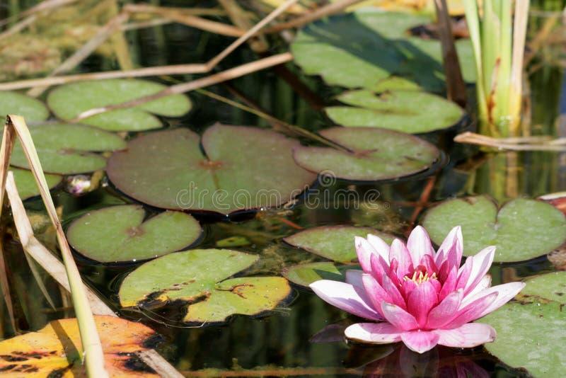 Roze lilly op water stock foto's