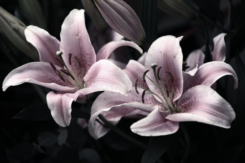 Roze lilys stock afbeeldingen