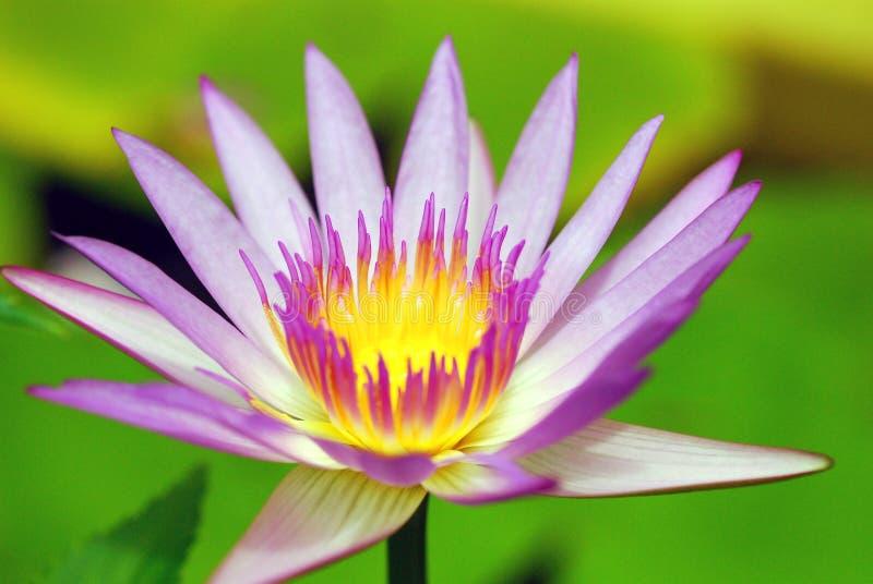 Roze Lotus royalty-vrije stock fotografie