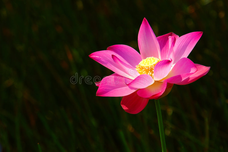 Roze lotusbloem 2 stock fotografie