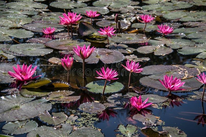 Roze lotusbloem in de vijver royalty-vrije stock afbeelding