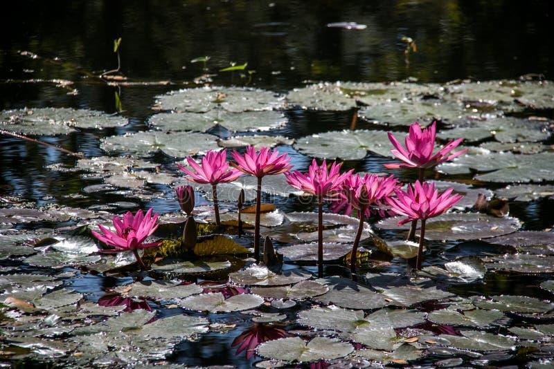 Roze lotusbloem in de vijver royalty-vrije stock foto's