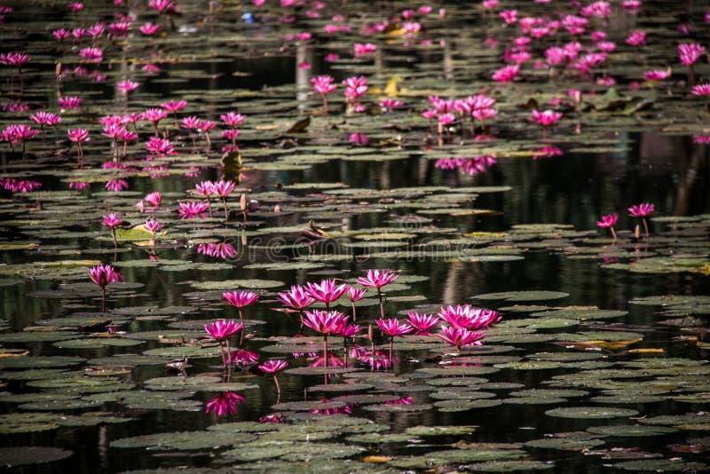 Roze lotusbloem in de vijver stock foto's