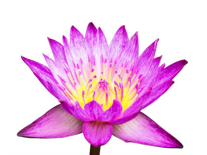 Roze lotusbloem die op witte achtergrond wordt geïsoleerd? stock foto