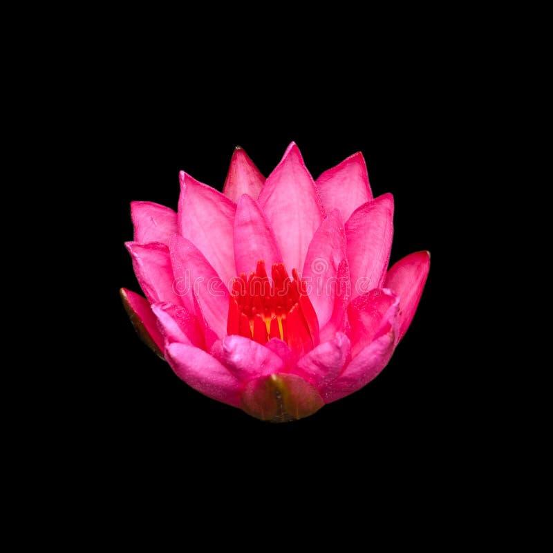 Roze lotusbloem die op zwarte wordt geïsoleerds royalty-vrije stock afbeelding