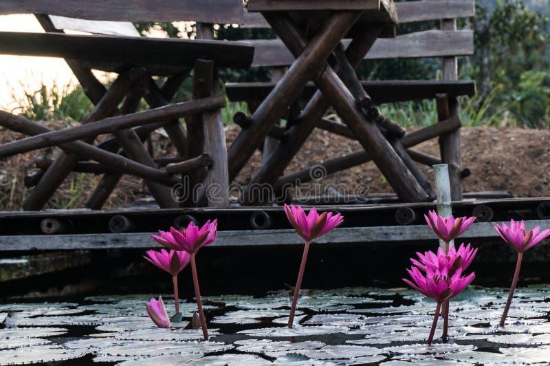 Roze lotusbloem in een vijver royalty-vrije stock foto's