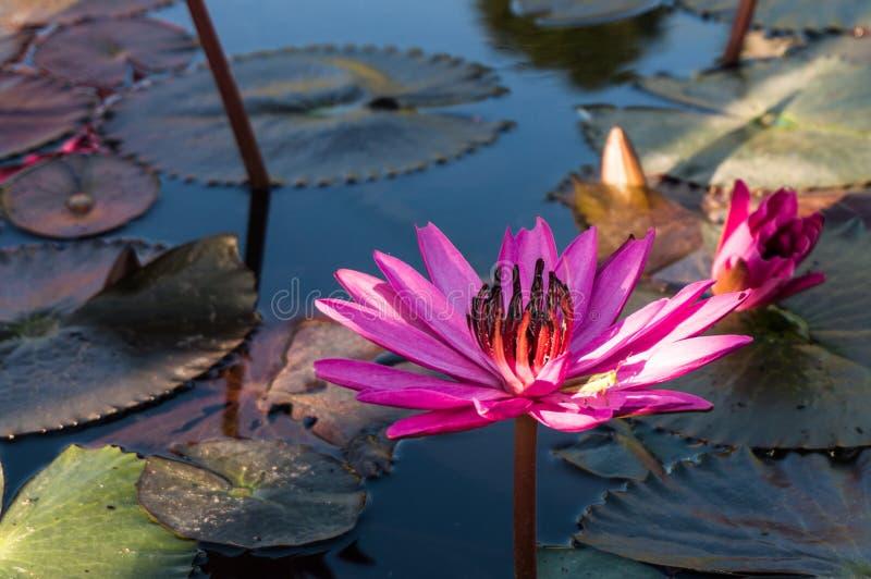 Roze lotusbloem in een vijver royalty-vrije stock afbeelding