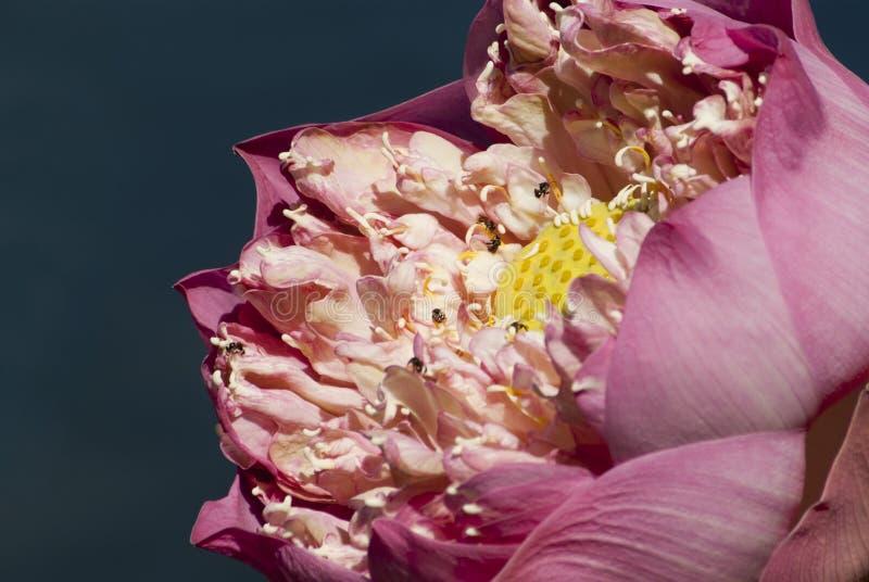 Roze lotusbloem en stingless bij stock fotografie