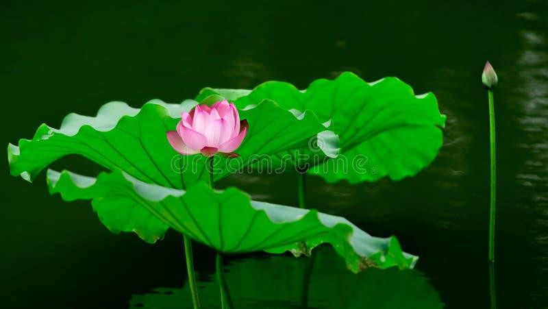Roze lotusbloem in het water stock afbeeldingen