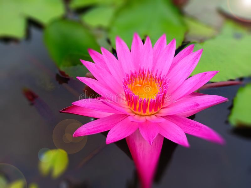 Roze lotusbloem in meer stock afbeelding