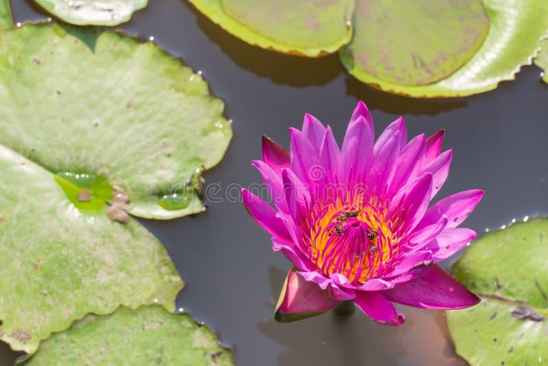 Roze lotusbloem met de bladachtergrond royalty-vrije stock foto's