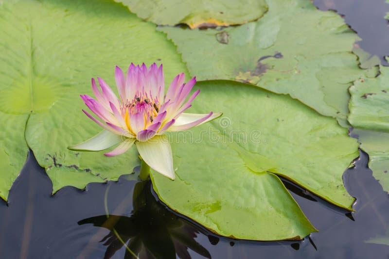 Roze lotusbloem met de bladachtergrond royalty-vrije stock afbeeldingen
