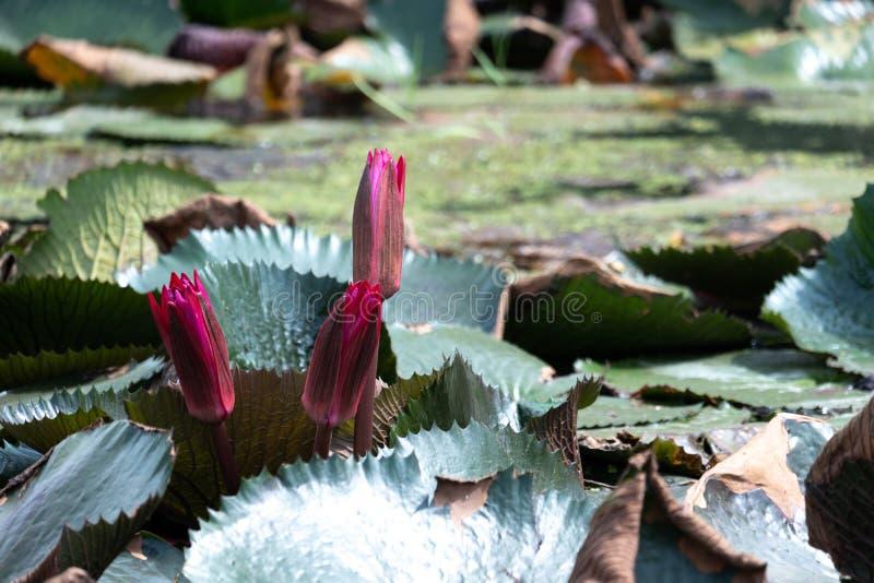 Roze lotusbloem op de waterspiegel stock fotografie