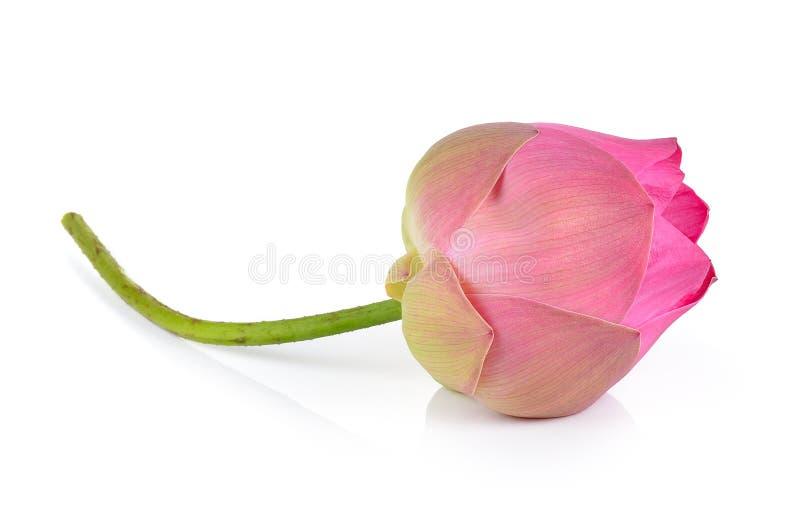 Roze lotusbloem op witte achtergrond stock afbeeldingen