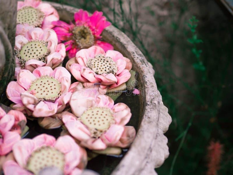 Roze lotusbloem in vaas stock afbeeldingen