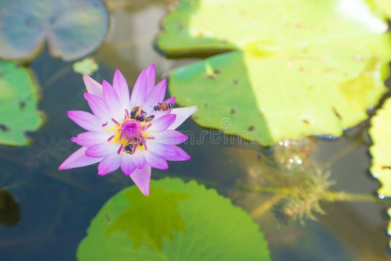 Roze lotusbloembloem en bij stock foto's