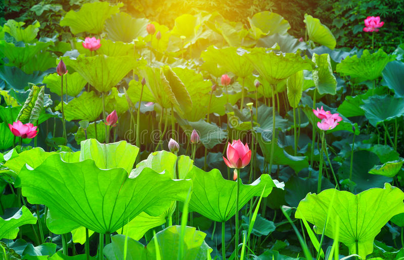 Roze lotusbloembloem en van de lotusbloembloem installaties in de vijver stock afbeelding
