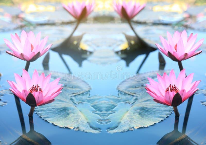 Roze lotusbloembloem Roze lotusbloembloesems of van waterleliebloemen bloo royalty-vrije stock foto's