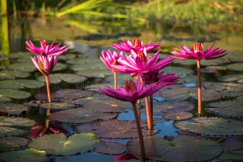 Roze lotusbloembloemen royalty-vrije stock foto