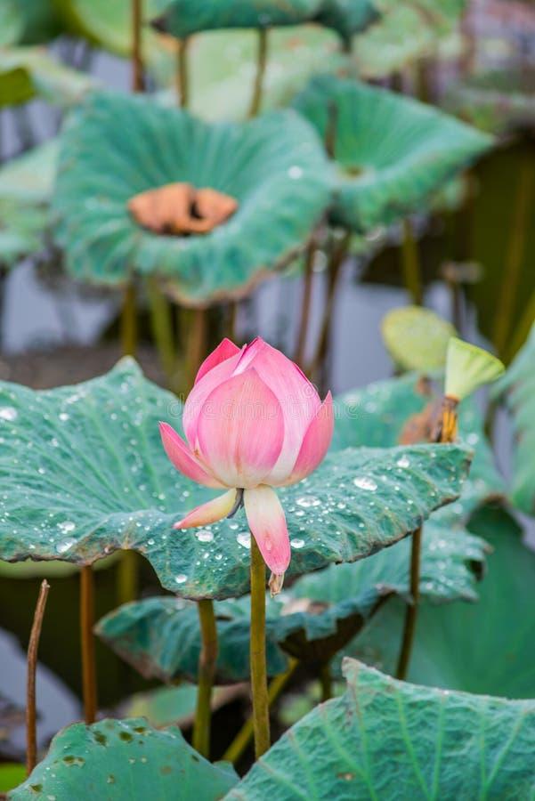 Roze lotusbloembloemen op vijvergebied royalty-vrije stock foto